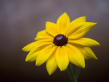 A Black Eyed Susan  Rudbeckia Hirta  Blooms in a Home Garden