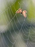 Moth in Spiderweb  Bavaria  Germany