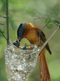 Madagascar Paradise Flycatcher (Terpsiphone Mutata) Female Feeding Chicks