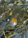 European Robin (Erithacus Rubecula) Perching in Tree  Germany