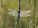 Southern Skimmer (Orthetrum Brunneum) Dragonfly Male Covered with Dew  Germany