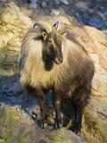 Himalayan Tahr (Hemitragus Jemlahicus) Male Standing on Rocks