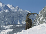 Alpine Ibex (Capra Ibex) Adult Male Standing in Snowy Mountains  Alps  France