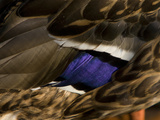 Close Up of a Male Mallard Duck&#39;s  Anas Platyrhynchos  Feathers
