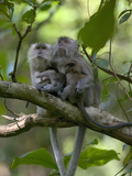 Long-Tailed or Crab-Eating Macaque (Macaca Fascicularis) Pair in Tree with Babies  Malaysia