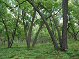 American Elm (Ulmus Americana) Old Growth Forest in Sully Hill  South Dakota