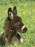 Donkey (Equus Asinus) Foal Resting in Field of Flowers  Germany