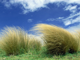 Red Tussock Grass (Chionochloa Rubra) South Island  New Zealand