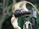 Iferal Vervet Monkeys or Green Monkeys (Cercopithecus Aethiops) Playing on Camera