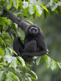 Muller's Bornean Gray Gibbon (Hylobates Muelleri) in Tree  Native to Southeast Asia