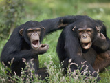Chimpanzee (Pan Troglodytes) Pair Vocalizing  La Vallee Des Singes Primate Center  France