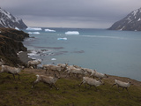 A Herd of Reindeer Running on the Fortuna Bay Coast