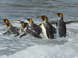 A Group of King Penguins Running into the Surf