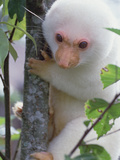 Spotted Cuscus (Phalanger Maculatus) in Tree  Papua New Guinea