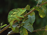 Parson's Chameleon (Chamaeleo Parsonii) Female  Eastern Rainforest  Madagascar