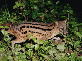 Malagasy Civet or Striped Civet (Fossa Fossana) Side View  Eastern Madagascar