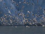 Kittiwakes Flying Near a Glacier