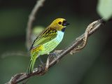 Gilt-Edged Tanager (Tangara Cyanoventris) Perching on Branch  Atlantic Forest  Brazil