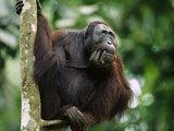 Orangutan (Pongo Pygmaeus) Adult Sitting in Tree Holding His Head in His Hand  Borneo