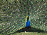 Peafowl (Pavo Cristatus) Male in Courtship Display  Asia
