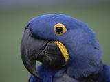 Hyacinth Macaw (Anodorhynchus Hyacinthinus)  Endangered  Pantanal  Brazil