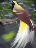 Raggiana Bird of Paradise (Paradisaea Raggiana)  Native to Papua New Guinea