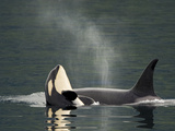 A Killer Whale Calf Raises Out of the Water Next to an Adult