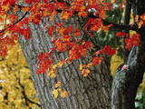 Bright Red Maple Leaves Against an Oak Trunk