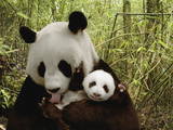 Giant Panda (Ailuropoda Melanoleuca) Gongzhu and Cub in Bamboo Forest