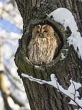 Tawny Owl (Strix Aluco) in Nest Hole  Bavaria  Germany