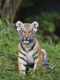 Siberian Tiger (Panthera Tigris Altaica) Cub  Native to Siberia