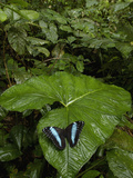 Blue Morpho (Morpho Peleides) Butterfly  in the Rainforest  Ecuador