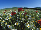 Flowering Meadow with Chamomile (Anthemis Arvensis) and Corn Poppy  Italy