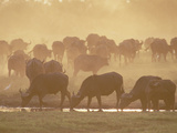 Cape Buffalo (Syncerus Caffer) Herd in a Dusty Sunset  Okavango Delta  Botswana