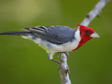 Red-Crested Cardinal (Paroaria Coronata) Perched on Branch  Pantanal  Brazil