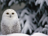 Snowy Owl (Nyctea Scandiaca) Camouflaged Against Snow  North America