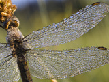 Southern Skimmer (Orthetrum Brunneum) Dragonfly Female Covered with Dew  Germany