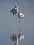 Greater Flamingo (Phoenicopterus Ruber) Pair Sleeping on One Leg  Camargue  France