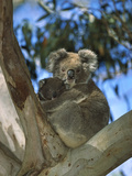Koala (Phascolarctos Cinereus) Mother with Baby in Eucalyptus Tree  Australia