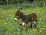 Donkey (Equus Asinus) Foal in Field of Flowers  Germany