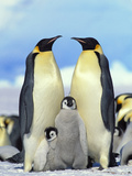 Emperor Penguin (Aptenodytes Forsteri) Parents with Chicks  Antarctica