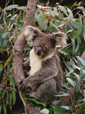 Koala (Phascolarctos Cinereus) Young Male in Eucalyptus Tree  Eastern Forested Australia
