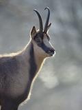 Chamois (Rupicapra Rupicapra) Europe