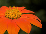 Close Up of an Orange Zinnia Flower