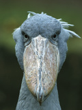 Whale-Headed Stork (Balaeniceps Rex)