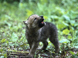 Timber Wolf (Canis Lupus) Pup Howling  North America