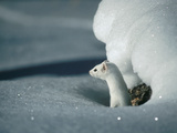 Long-Tailed Weasel (Mustela Frenata) Camouflaged in White Winter Coat  Idaho