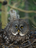 Great Gray Owl (Strix Nebulosa) Parent Incubating Eggs on Nest
