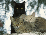 Domestic Cat (Felis Catus) Group of Three  Tanzania