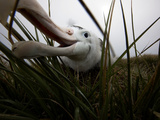 A Wandering Albatross Chick Explores a Remote Camera